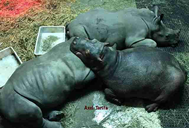 Two young rhinos and hippo