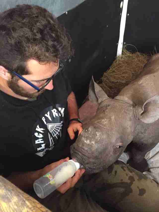 Baby rhino getting bottle-fed