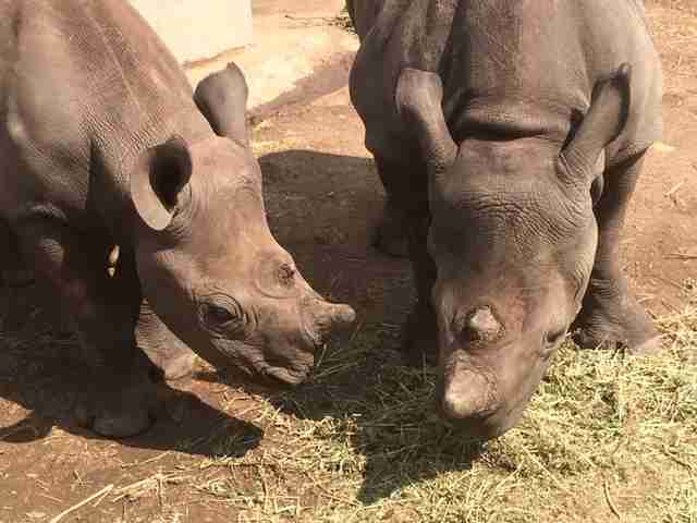 Two young rhinos
