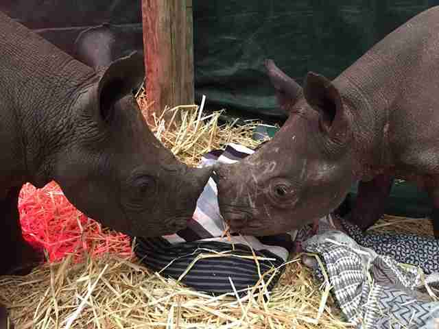 Two baby rhino orphans