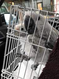 Rescued bonded cockatoos going home together