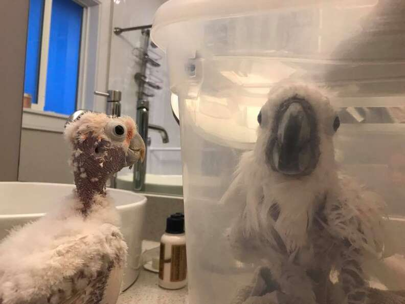 Cockatoo helping her friend through cancer treatment