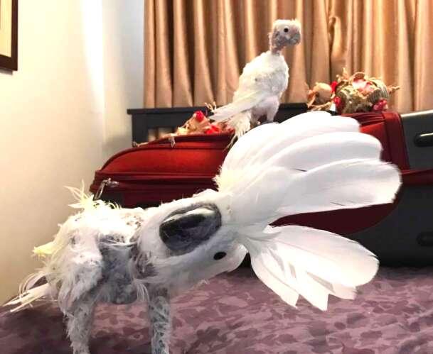Rescued cockatoos