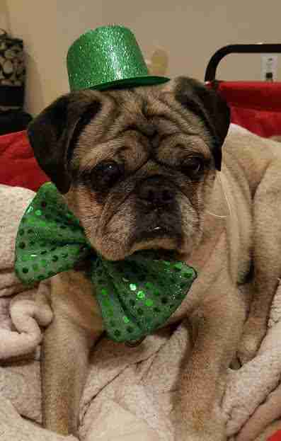 Senior pug dog in bow tie