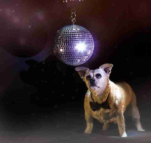 Senior dog under a disco ball