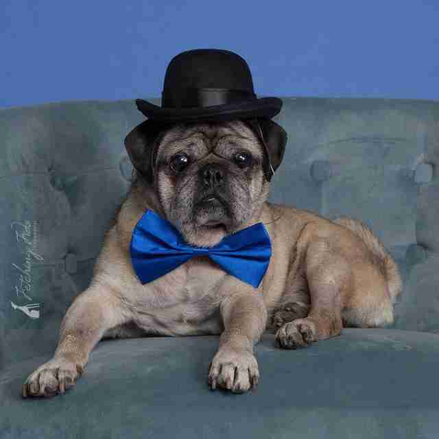 Senior pug dog wearing a bowtie