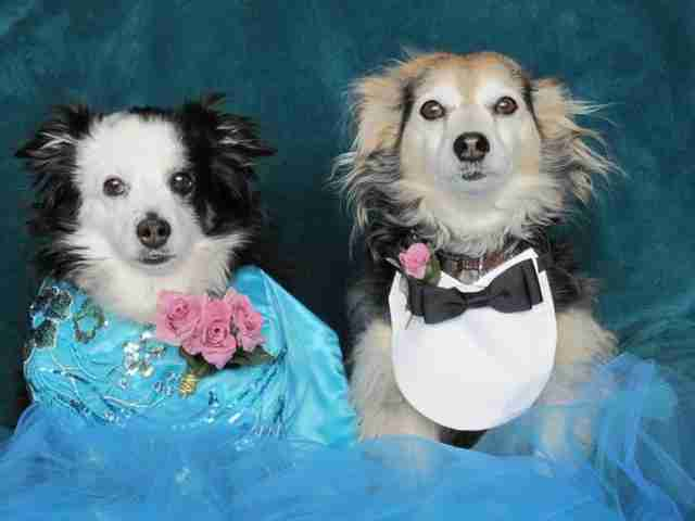 Senior dogs dressed up for prom