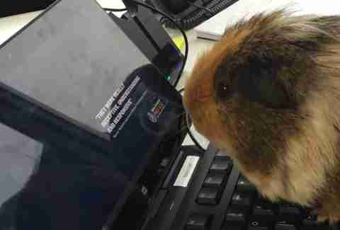 guinea pig joins police department