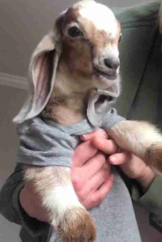 Rescued baby goat in coat