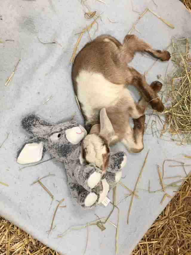 Rescued baby goat with stuffed bunny