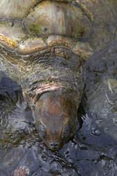 captive bred turtle at Cayman Turtle Farm