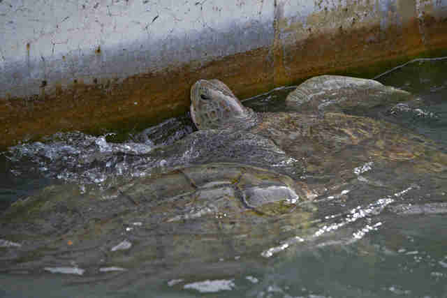 captive turtles being raised for meat at Cayman Turtle Center