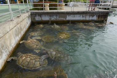captive turtles at Cayman Turtle Farm