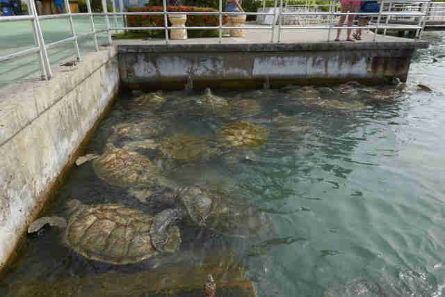 captive turtles at Cayman Turtle Farm