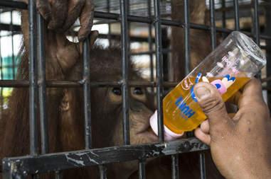 Rescued orangutan in rehab