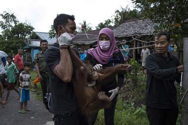 Rescued orangutan in Borneo