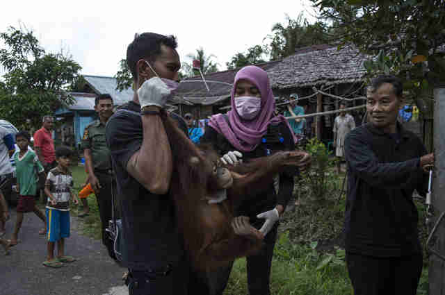 Rescued orangutan in Borneo
