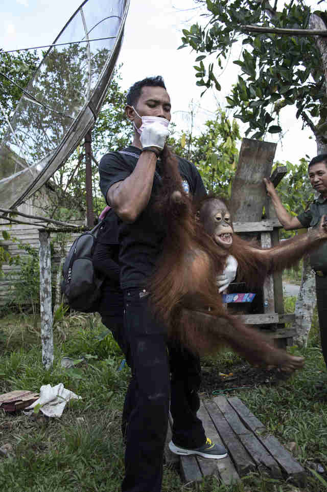 Young orangutan being rescued