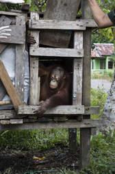 Baby orangtuan being kept inside box