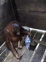 Rescued orangutan locked inside wooden box