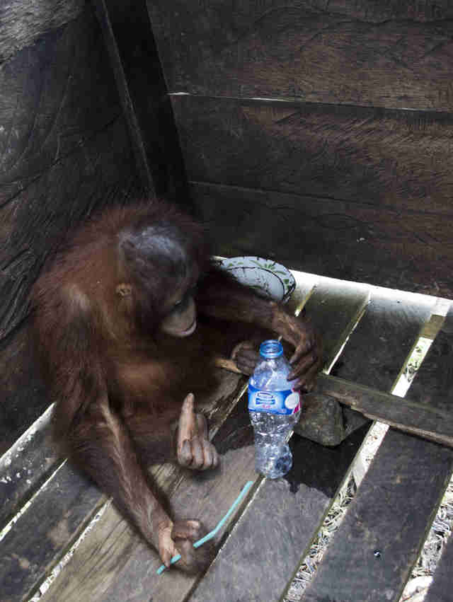 Rescued orangutan locked inside wooden box