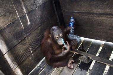 Orangutan locked inside wooden box