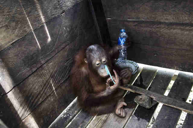 Orangutan locked inside wooden box