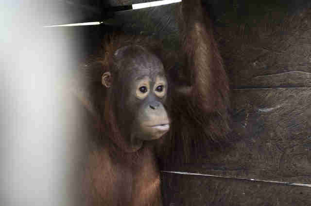 Young orangutan locked up in box