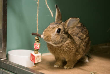 shelter rabbit playing with toys