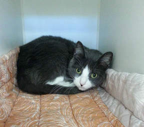 adoptable cat in shelter