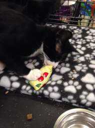 rescue cat playing with catnip