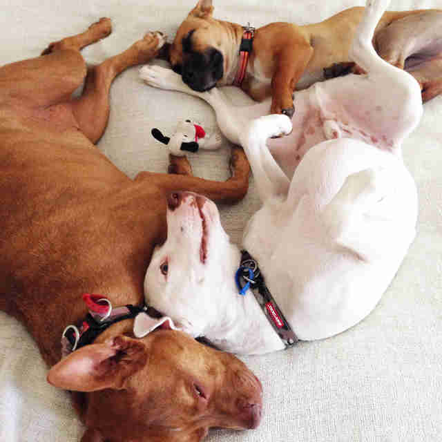 Three rescue dogs cuddling together