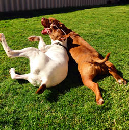 Rescue dogs playing in yard