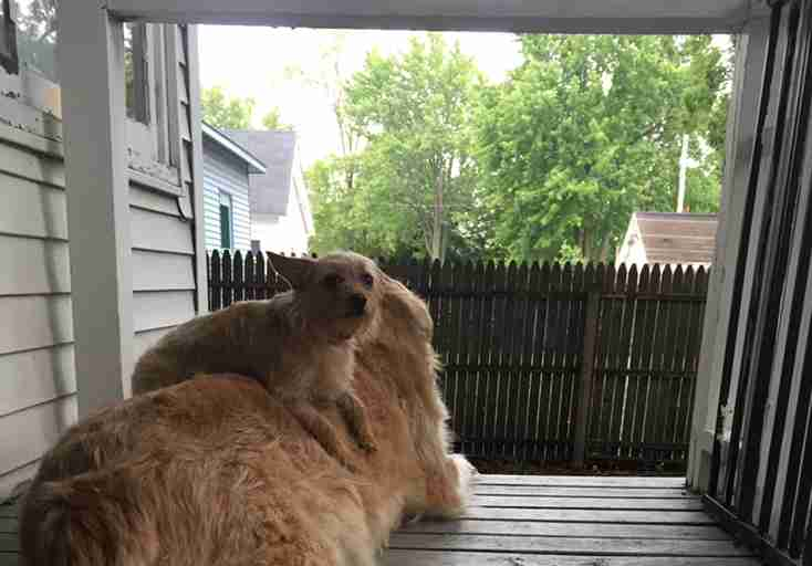 little dog sits on big dog