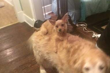 little dog sits on big dog