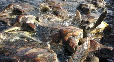 Sea turtles crowded together at Cayman Turtle Farm