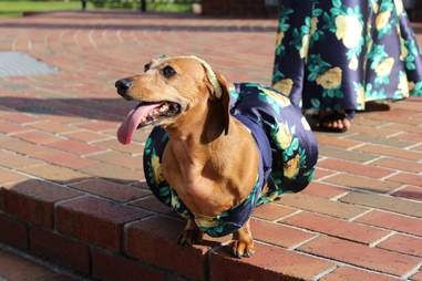 Dog wearing outfit matching girl's prom dress