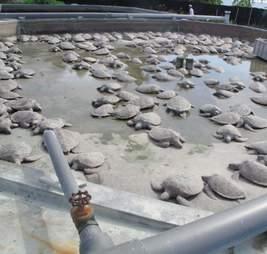 299 turtles die at Cayman Turtle Farm