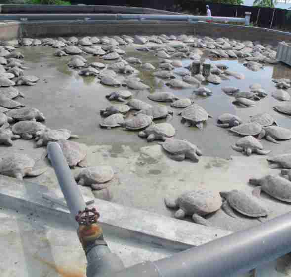 299 turtles die at Cayman Turtle Farm