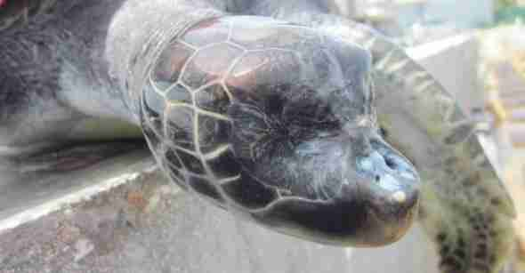 Captive bred turtle with genetic defect