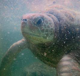Captive turtle in dirty water at Cayman Turtle Centre