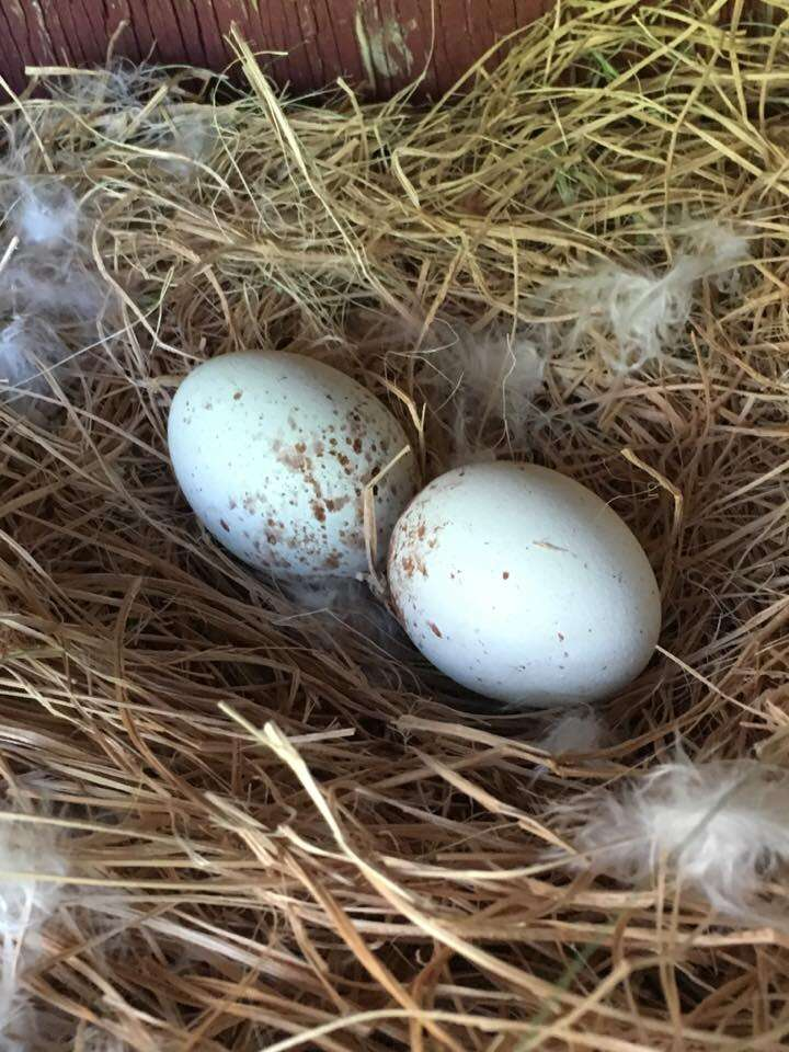 eggs lain by a flightless red-shouldered hawk