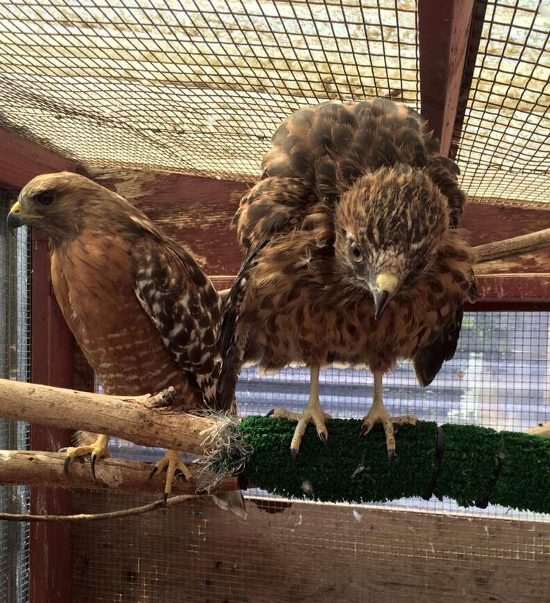 Surrogate mother hawk and an orphan she raised