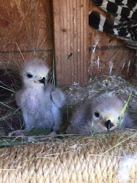 Baby red-shouldered hawks being raised by surrogate