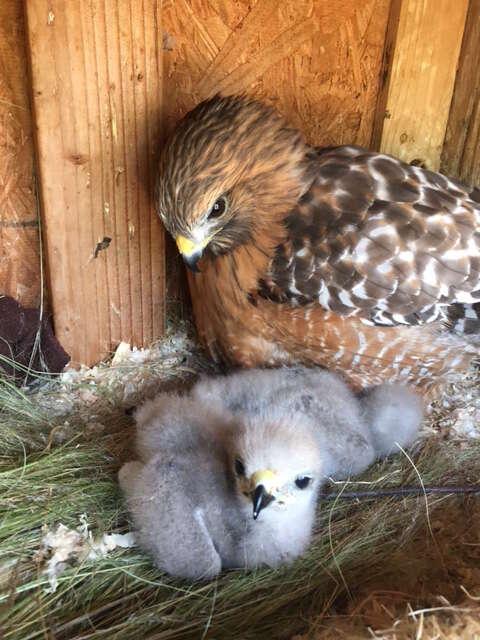 Flightless hawk being a surrogate mom to an orphan