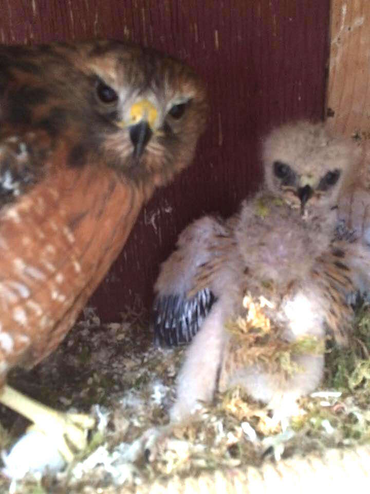 Flightless hawk raises orphan