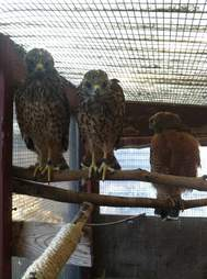 Flightless hawk helps raise orphans