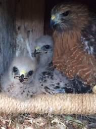 Surrogate hawk mom raises baby orphans