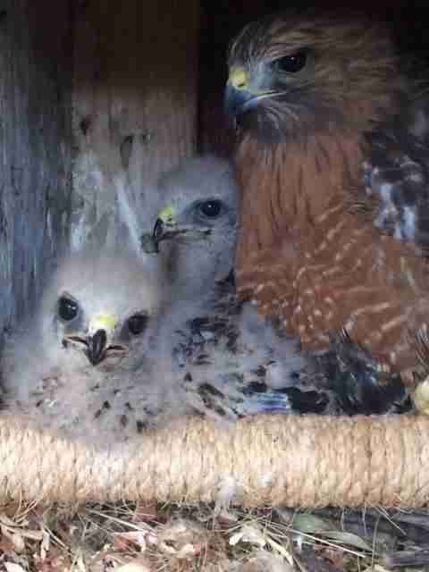 Surrogate hawk mom raises baby orphans