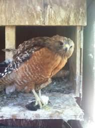 Flightless red-shouldered hawk
